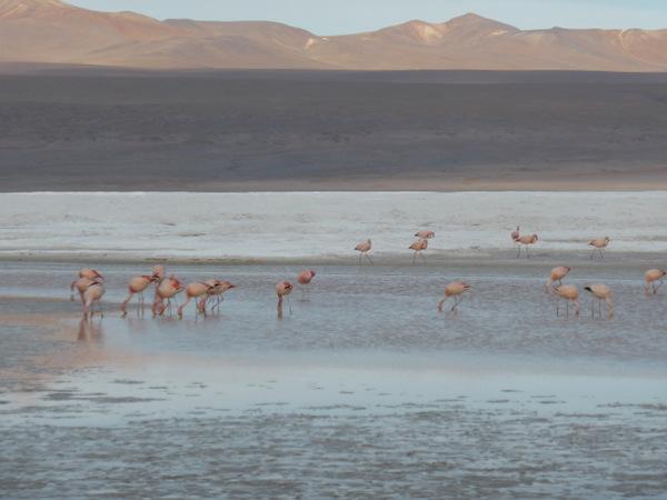 Bolivia Uyuni Flamingoes