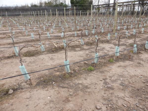 Argentina Mendoza Vines